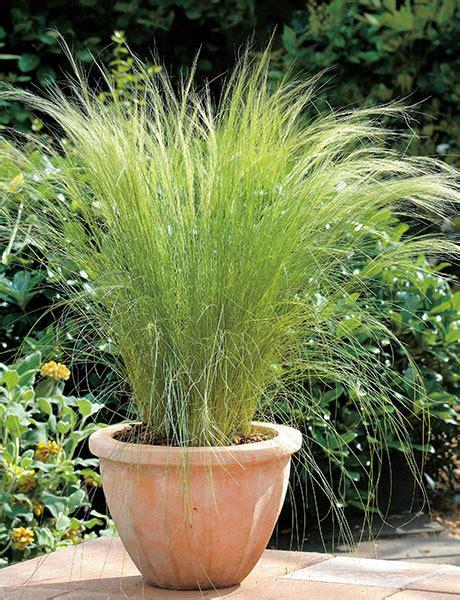 engelshaar pflanze stipa hair american takii