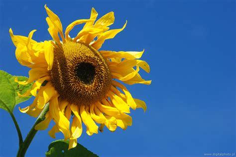 foto dei fiori girasole immagini dei fiori fotografie immagini