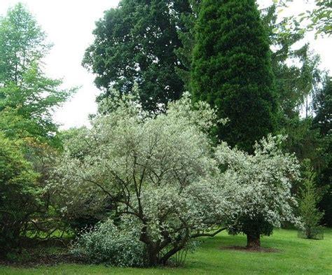 172 best elaeagnus images on shrubs autumn