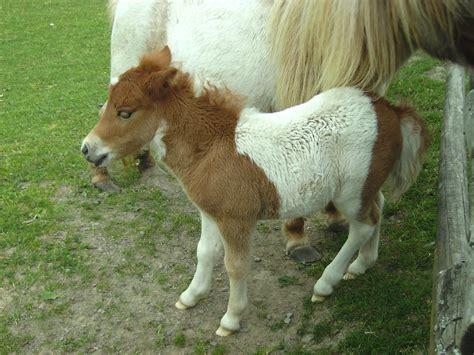 pony at ponys