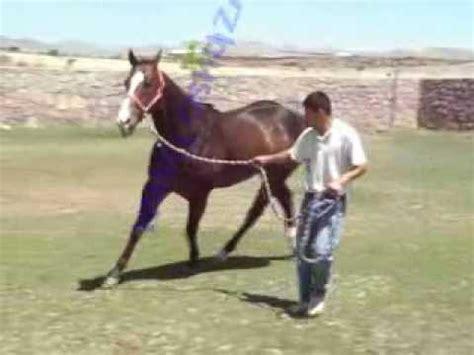 el conde caballo en venta rancho el 21 potro cuarto de
