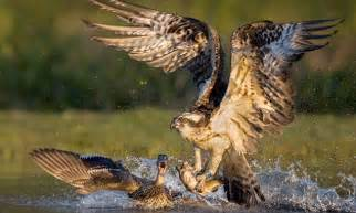duck pursues osprey after it swoops on a trout daily