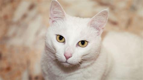 wallpaper white cat hd full hd wallpaper white cat muzzle whisker desktop