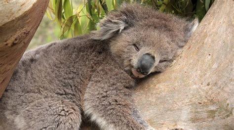 koala hängematte tibur 243 n martillo o pez martillo informaci 243 n y