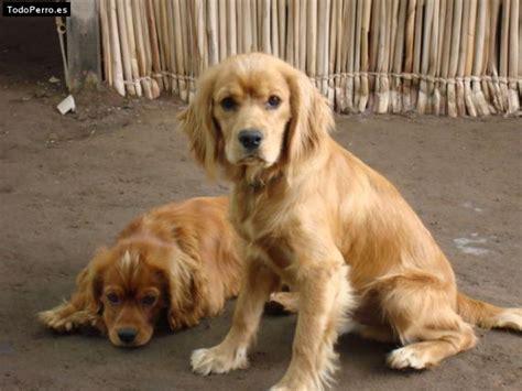 perros de raza cocker imagenes mi perro chupete y coffe