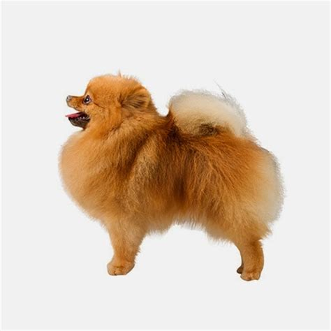 what country are pomeranians from the pup for your sun sign simply sun signs
