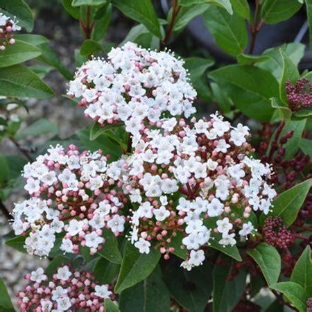 viburnum tinus vaso viorne tin spirit plantes et jardins