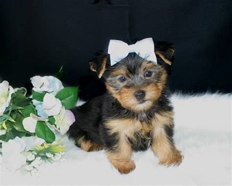 teacup yorkies for sale in west virginia pets huntington wv free classified ads