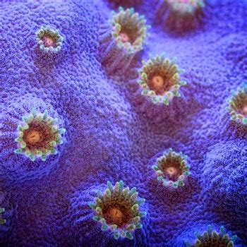 low light corals for sale 17 best images about coral on strawberry