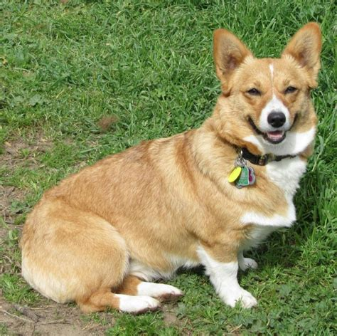 corgi puppies for sale in ohio corgi puppies for sale dogs and puppies autos post