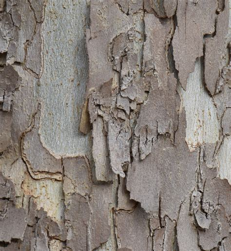 Why Do Sycamore Trees Shed Their Bark what s this tree with split bark and hundreds of