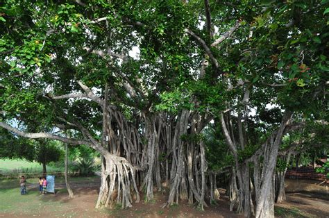 tree pictures file banyan tree 2 jpg wikimedia commons