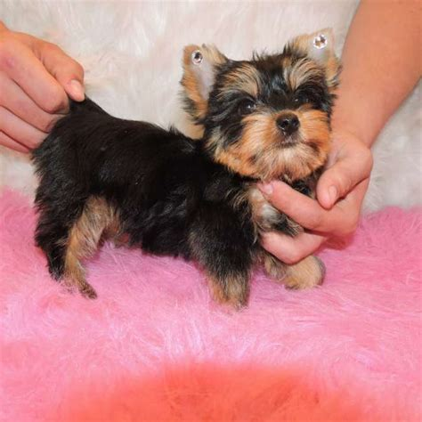 small yorkies tiny terrier goldenacresdogs