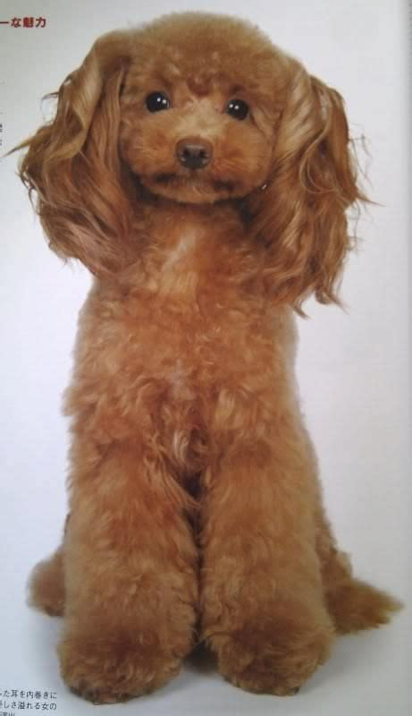 asian cuts for dogs 483 best dog grooming looks styles images on pinterest