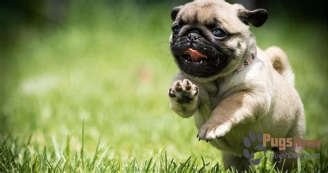 how to care for a pug puppy guide to pug puppies for sale in bay area