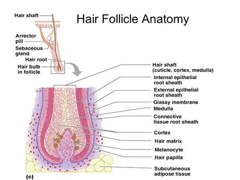 hair diagram anatomy integumentary system skin diagram layers of integumentary