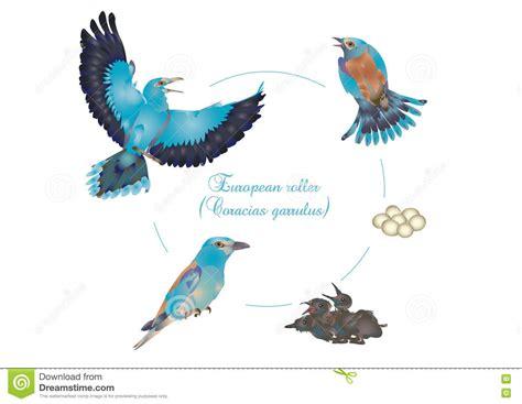 life cycle of a blue bird famous bird 2017