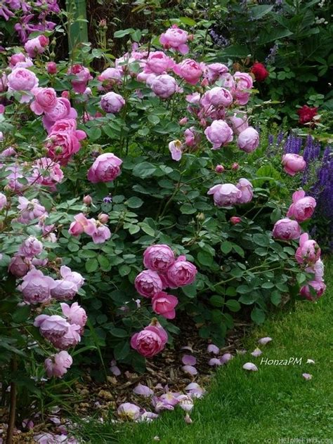 rose royal royal jubilee rose to replace golden jubilee per da