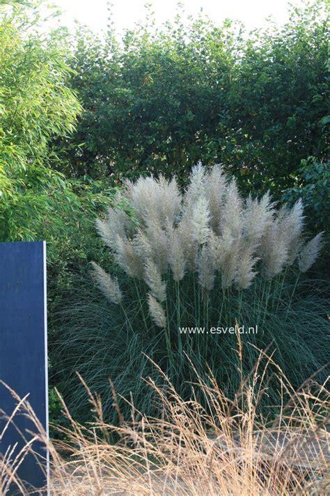 cortaderia selloana sunningdale silver 5840 picture and description of cortaderia selloana
