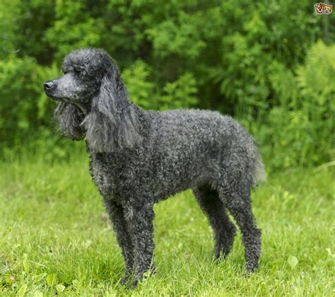 lifespan of standard poodle standard poodle breed information buying advice