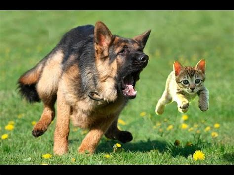 cat chases chasing cats dogs and cats dogs and cats compilation hd