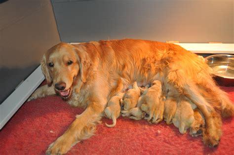 golden retriever breeders in vermont puppies vermont golden retrievers and puppies starvale goldens