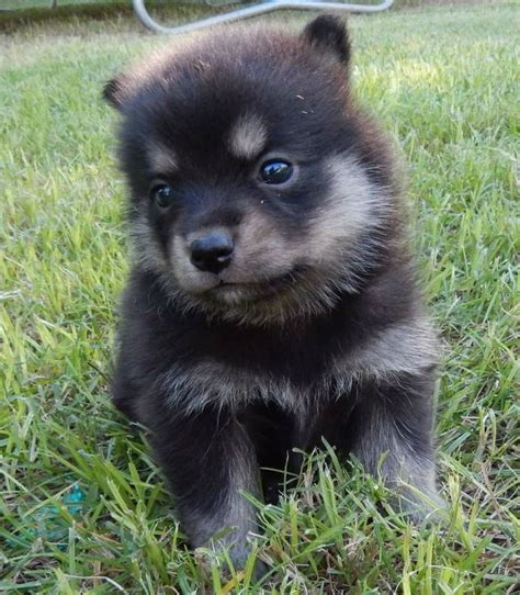 pomeranian and husky mixed best 25 pomeranian husky grown ideas on pomsky pomeranian husky
