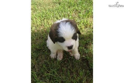 st bernard puppies for sale near me bernard st bernard for sale for 800 near orlando florida 4710ac55 25a1