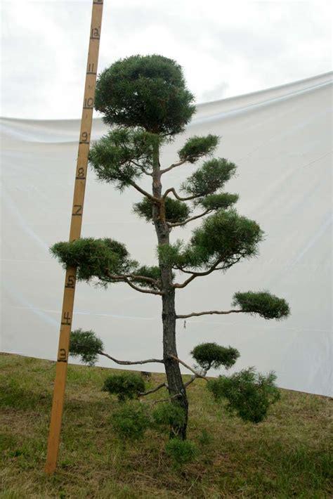 scotch pine topiary 187 scotch pine topiary tree 75 plants beautiful nursery