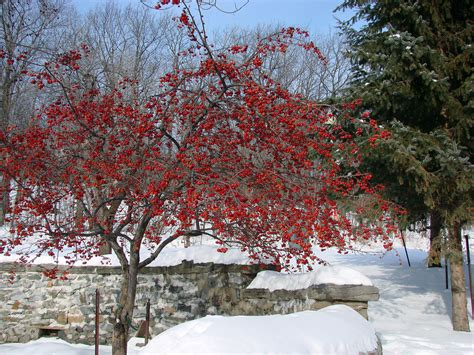 red berry tree in winter happy new year lilikx flickr
