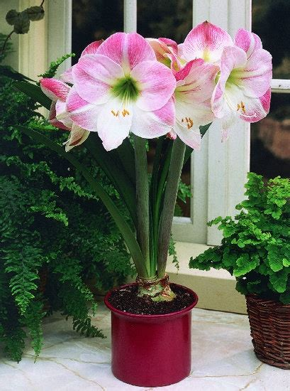 Mont Blanc Floral Pink 56 best ideas about amaryllis on ranunculus
