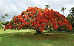 Care For Fruit Trees - royal poinciana tree for sale naples