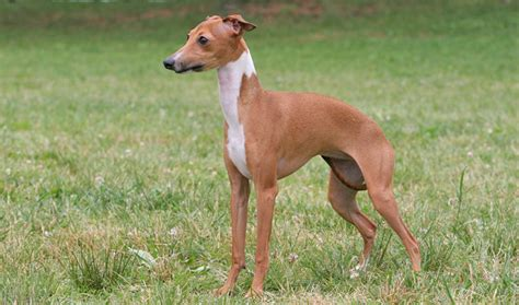 italian dogs italian greyhound breed information