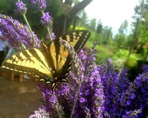 herb plants to attract butterflies at blue heron herbary