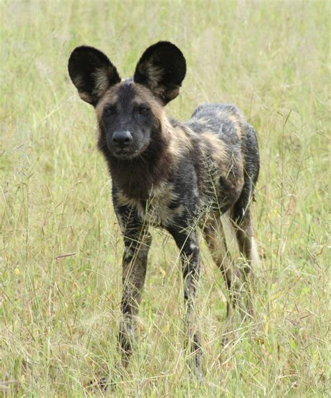 dogs in africa conservation malawi