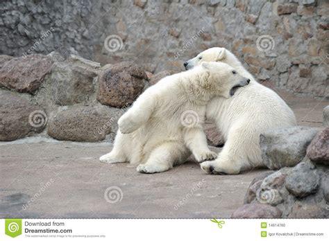 two polar bears in a bathtub polar bears fighting stock photo cartoondealer com 64049946