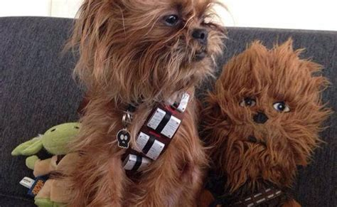 chewbacca yorkie 9 dogs who totally nailed rover