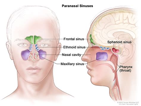sinus diagram paranasal sinus and nasal cavity cancer treatment pdq