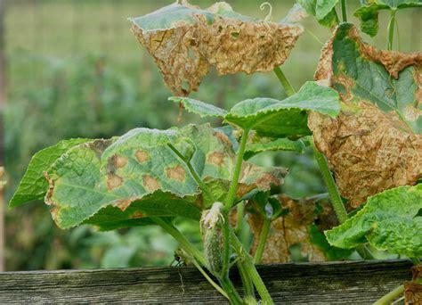 cucumber plant diseases pictures cucumbers