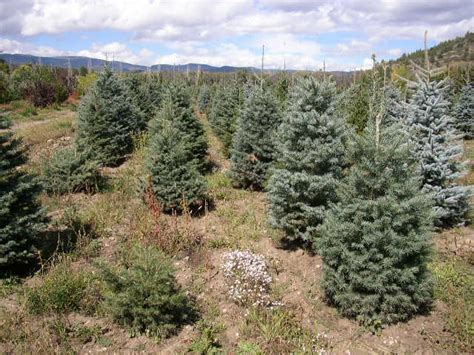 cassidy farms cut christmas trees