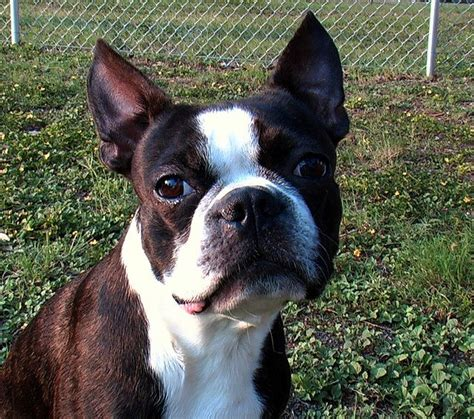 boston terrier boston terrier daxton s friends