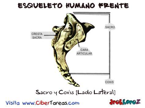 pelvis esqueleto humano frente cibertareas sacro y c 243 xis lado lateral esqueleto humano frente