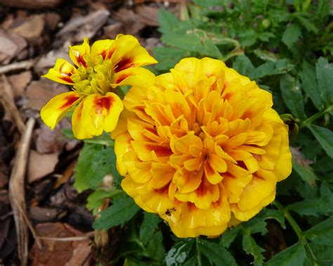 seeds for beginners marigolds birds and blooms