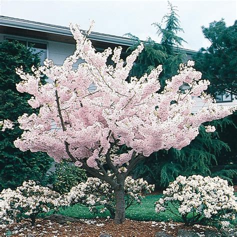 shop 24 5 gallon yoshino flowering cherry flowering tree l3234 at lowes