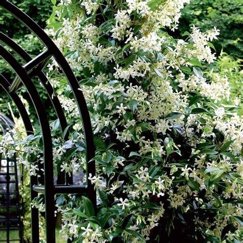 fiori gelsomino gelsomino ricante piante da giardino le