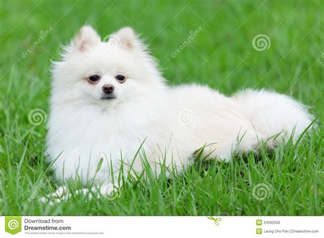 pictures of white pomeranians white pomeranian stock photo image of look cheerful 24562558