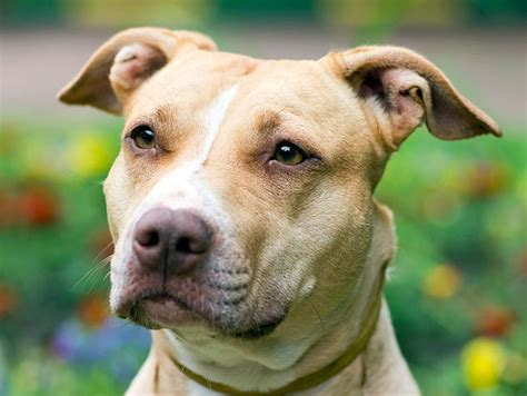 pit bull history personality appearance health and pictures