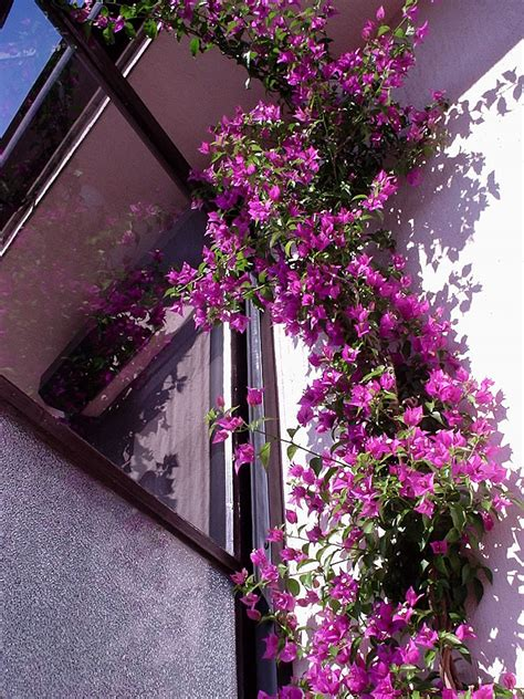 plants flowers bougainvillea