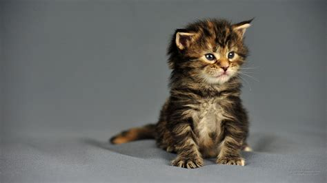 ruhige katzenrassen wohnung 1920 x 1080 maine coon torbie kitten amerikanischer