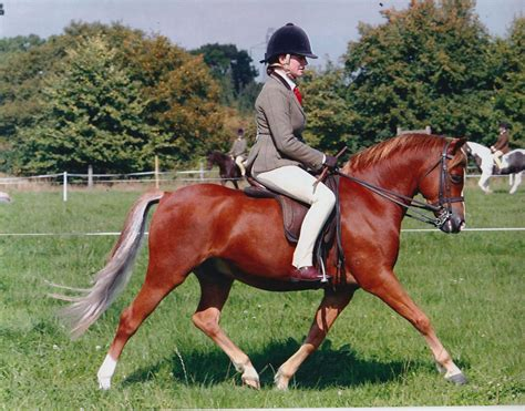 Section B Pony For Sale by 12 2hh Registered Sec B Gelding For Sale Stoke On